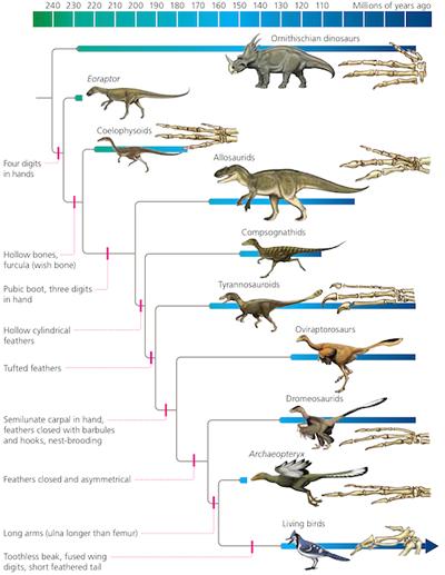 bird evolution feathered theropod
