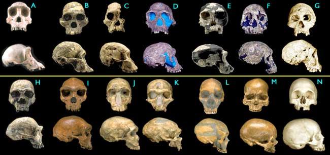 hominid-evolution-missing-links